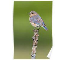 Female Eastern Bluebird. Poster
