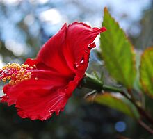 Hibiscus by MargaretMyers