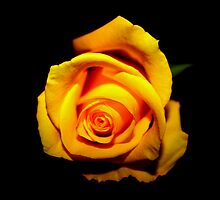 yellow rose-black background by dedakota