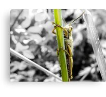 Grillo- insect Canvas Print