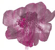 Pink and Purple Anenome Flower Print by CeiraCrainer