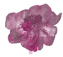 Pink and Purple Anenome Flower Print Photographic Print