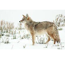 Snow 'yote Photographic Print