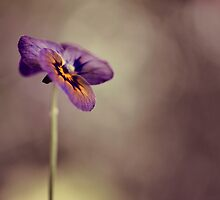 pansy by Ingz