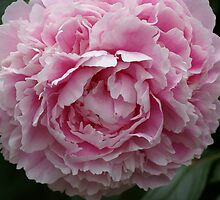 Pink Peony by walstraasart