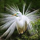 Great White Egret in Breeding Plumage by Paulette1021