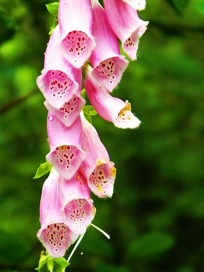 Foxgloves by kchase
