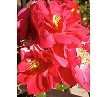 Governor General's Roses  #5 Photographic Print