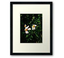 Daisy Daisies Framed Print