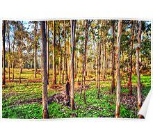 Eucalyptus Dreaming Poster