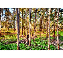 Eucalyptus Dreaming Photographic Print