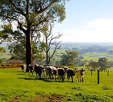 Milking Time, Heath Hill, Gippsland, Victoria, Australia. by johnrf