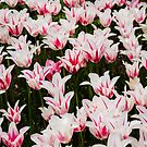 White and Pink Tulips (Tulipa) by mlphoto