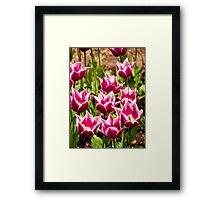 Pink Tulips (Tulipa) Framed Print