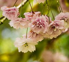 Cherry Blossom 2 by mlphoto