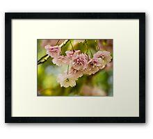 Cherry Blossom 2 Framed Print