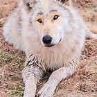 Wolf by Jarede Schmetterer