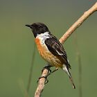 Male Stonechat by Peter Wiggerman