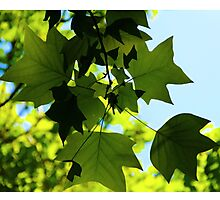Sunlit Leaves Photographic Print