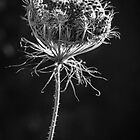 Queen Anne's Lace by Wib Dawson