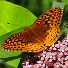 Meadow Frittilary Butterfly by lorilee