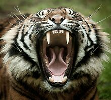 Yawning Tiger by paulwhittle