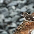 Young Turnstone by tashasphotos