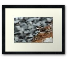 Young Turnstone Framed Print