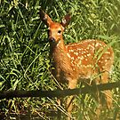 Fawn Wading in Marsh by Thomas Murphy