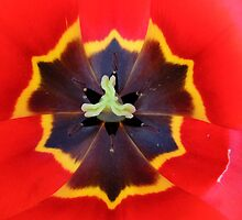Tulip 06 by Magic-Moments