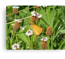 Little Moth in Frog Fruit Canvas Print