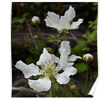 Wild Dewberry Blossoms Poster