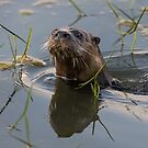 Otter in the water by jamesmcdonald