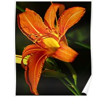 Sunlit Day Lily Poster