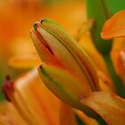 Orange Lily Buds by Shari Rucker