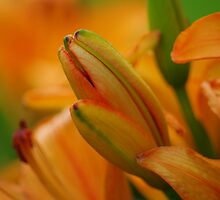 Orange Lily Buds by Shari Rucker
