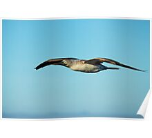Blue Footed Booby in flight Poster