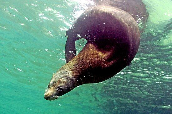 Fur Seal by John Marriott