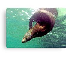Fur Seal Canvas Print