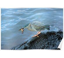 Striated Heron feeding on a crab in the Galapagos Poster