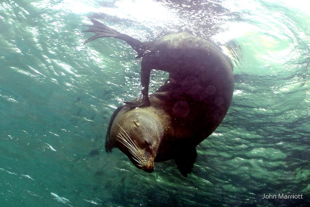 Scratching Fur Seal! by John Marriott