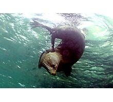 Scratching Fur Seal! Photographic Print