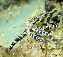 Blue-ringed Octopus  by John Marriott