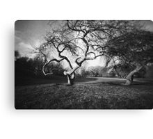 Gnarly Old Tree in Spring : Pinhole Study Canvas Print
