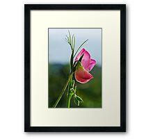 Sweet Peas Flowering Framed Print