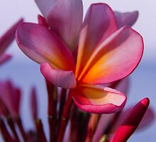 Frangipani, Indonesia - iPhone cover by KerryPurnell