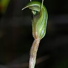 Pterostylis concinna (Trim Greenhood) by Russell Mawson