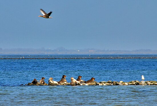 Seals at Lake Grevelingen. by Adri  Padmos