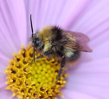Bumble Bee Macro by AnnDixon