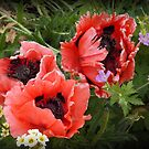 Poppies by beracox